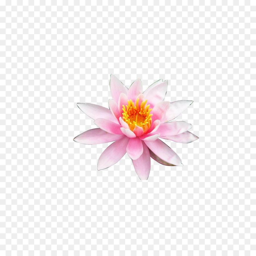 Nelumbo Nucifera Flower Petal Lotus Creative Png Download 1000