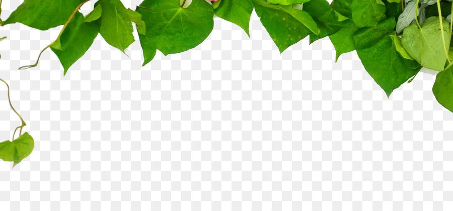 Sfondo Verde Foglie Verdi Scaricare Png Disegno Png Trasparente