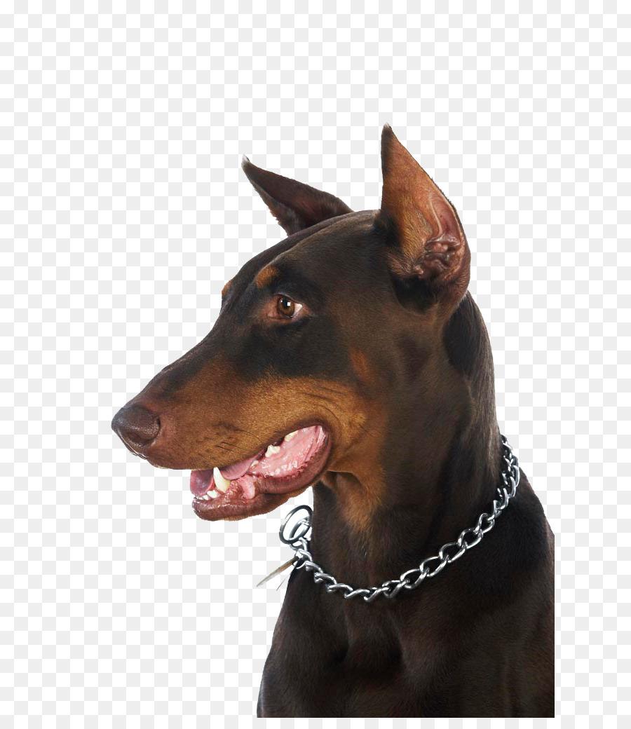 Dobermann German Pinscher Manchester Terrier English Toy Terrier
