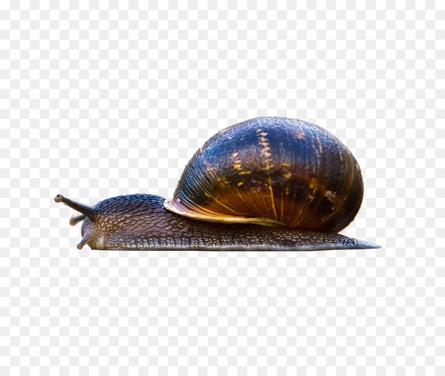 macintosh snail high definition television gastropod shell wallpaper small snail
