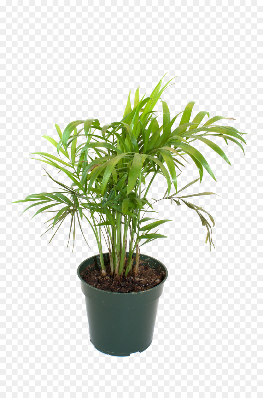 Blumentopf Bambus Zimmerpflanze Topfpflanzen Bambus Png