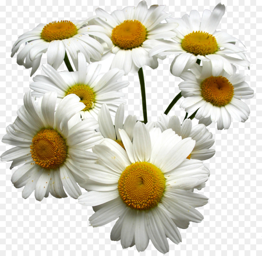 Tea German Chamomile Roman Chamomile Oil White Chrysanthemum Png