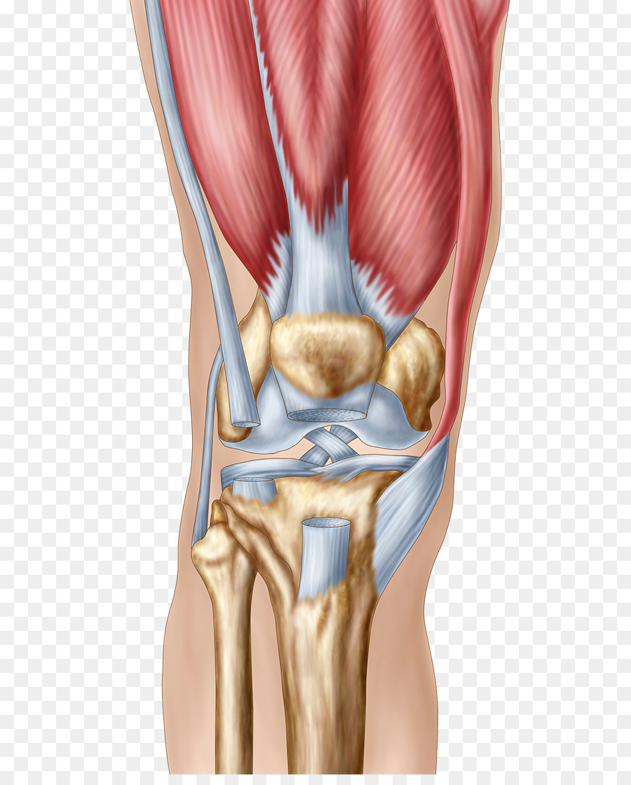 Knee Pain Human Anatomy Patella Tendon Tear Png Download 606
