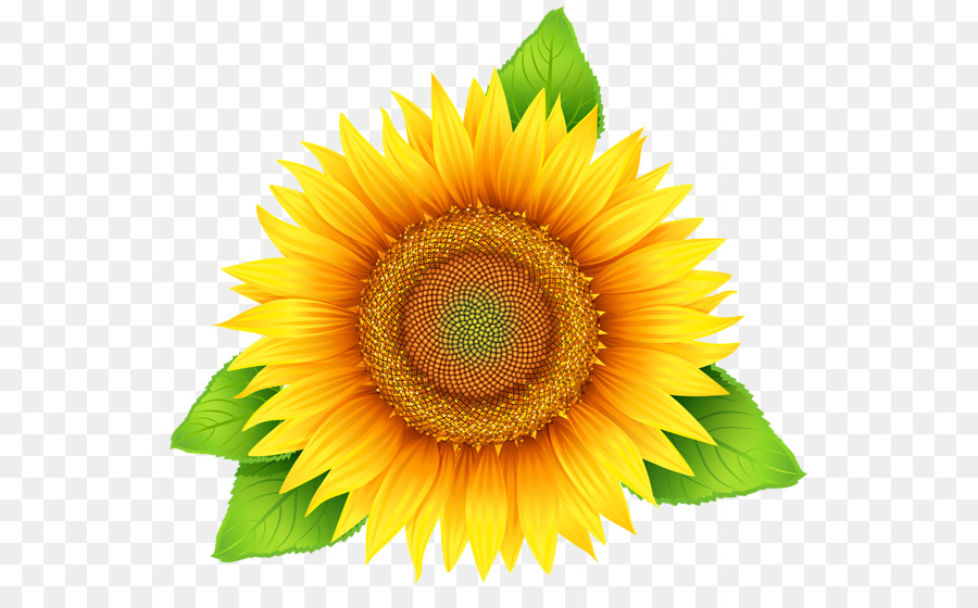 Common Sunflower Scalable Vector Graphics Clip Art Sunflower