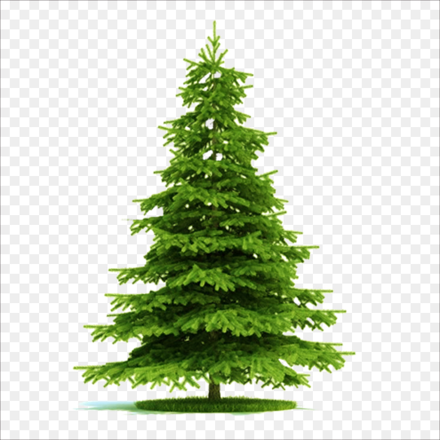 blue spruce picea asperata norway spruce tree plant christmas tree