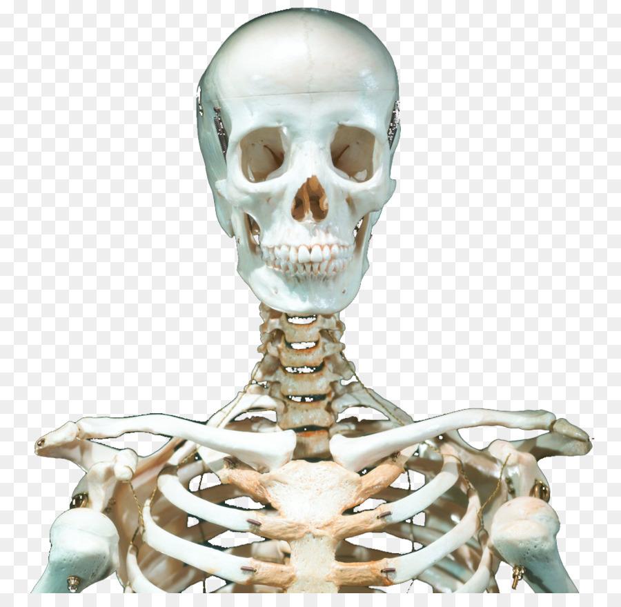 Skull Human Skeleton Skeleton Png Download 1024979 Free