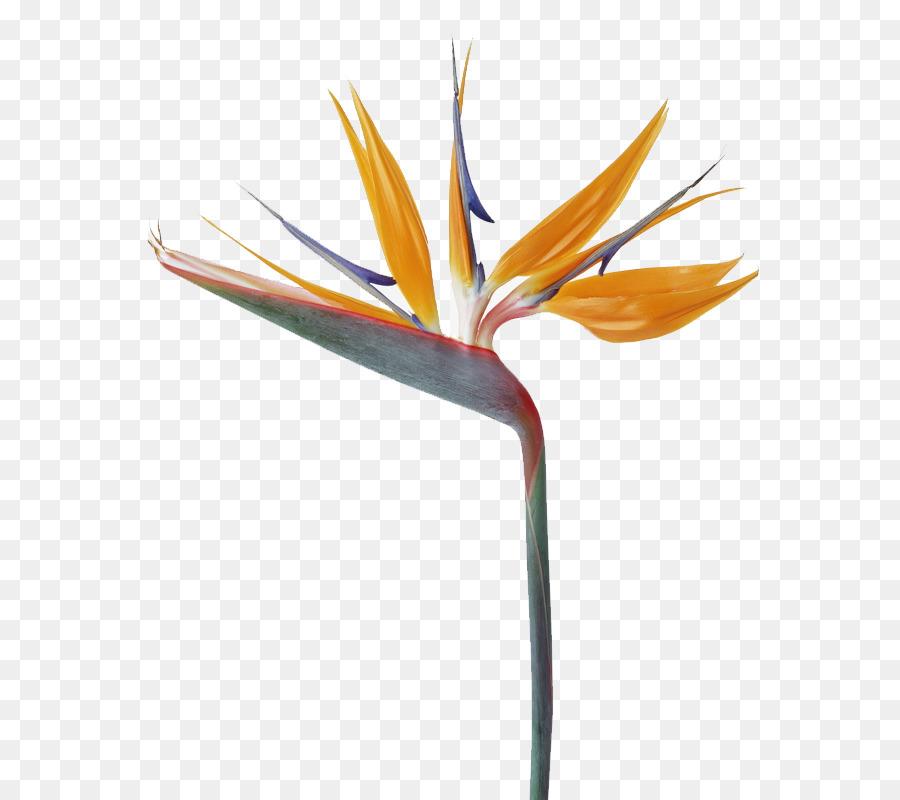 Strelitzia reginae Bird Flower bouquet - Unique shape of flowers png ...