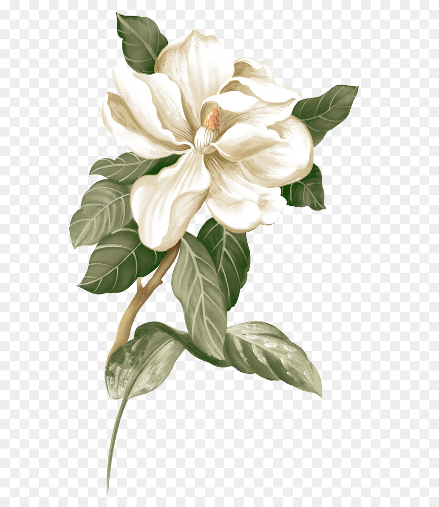 Flower Jasmine Botanical Illustration Gardeniasmall Fresh