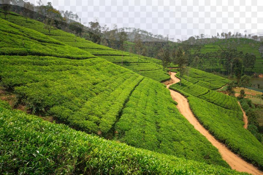 Tea garden High-definition television Wallpaper - Tea plantation ...