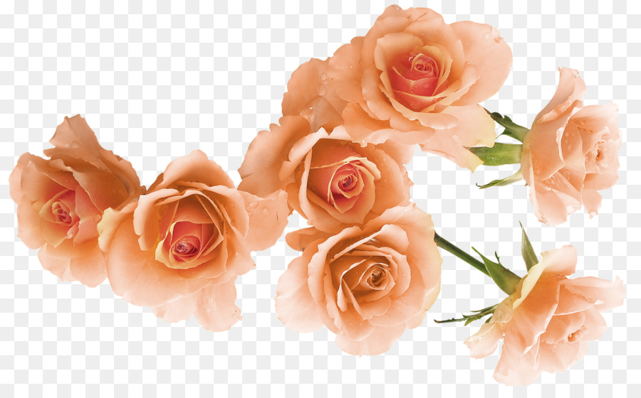 Garden Roses Beach Rose Flower Rosa Foetida