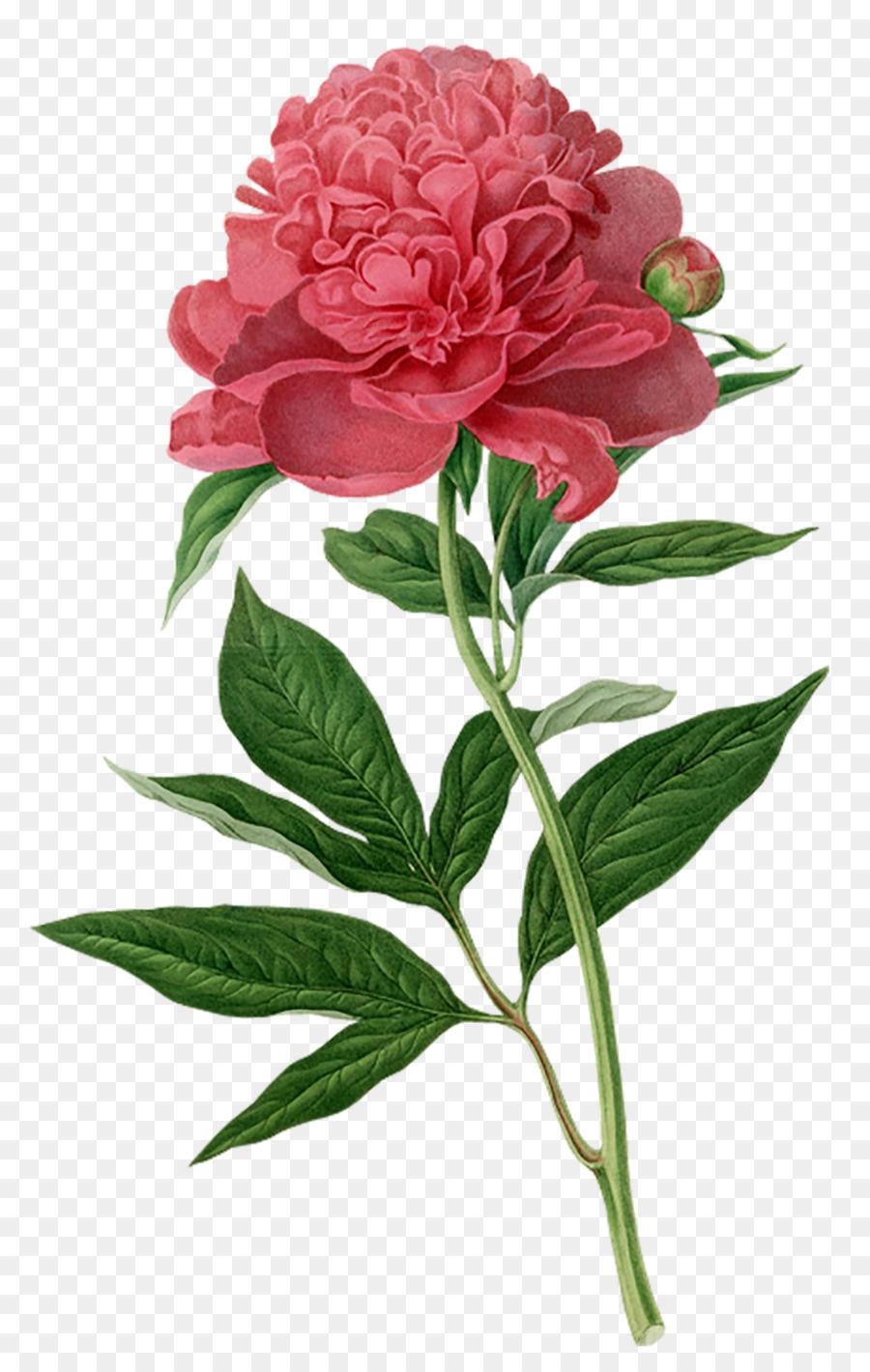 peony botanical illustration botany printmaking printing