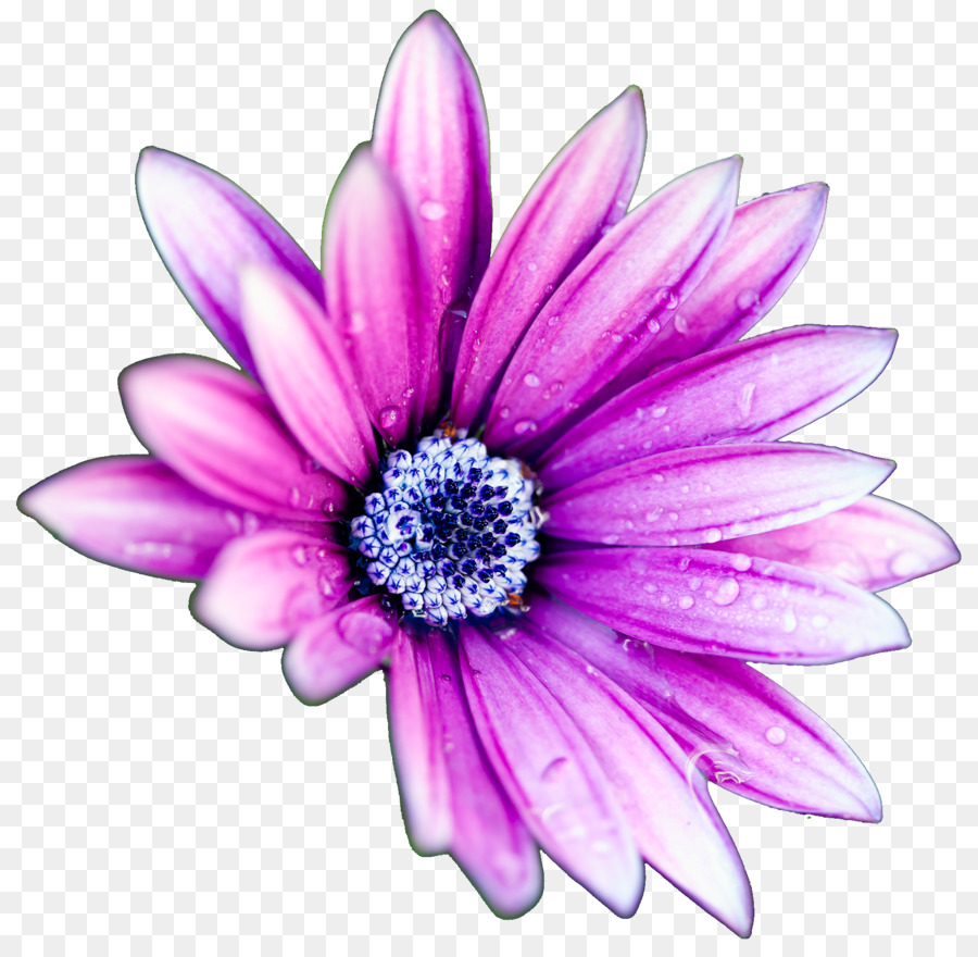 Flower high definition television display resolution common daisy flower high definition television display resolution common daisy wallpaper purple daisies izmirmasajfo