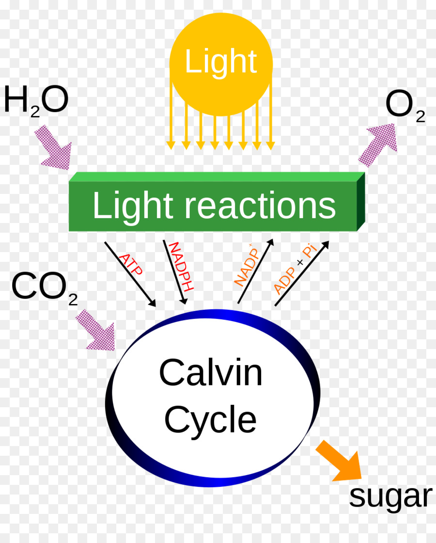 Photosynthesis cellular respiration diagram chemical energy carbon photosynthesis cellular respiration diagram chemical energy carbon dioxide photosynthesis cliparts ccuart Gallery