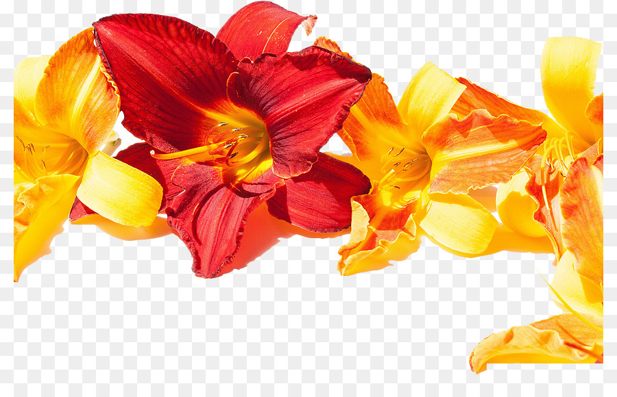 The Best Of Good Morning Wallpaper A Plurality Of Day Lily Png