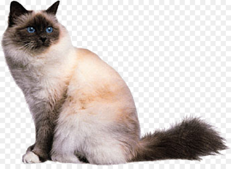 Birman Abyssinian American Shorthair British Shorthair Burmese Cat   White  Cat