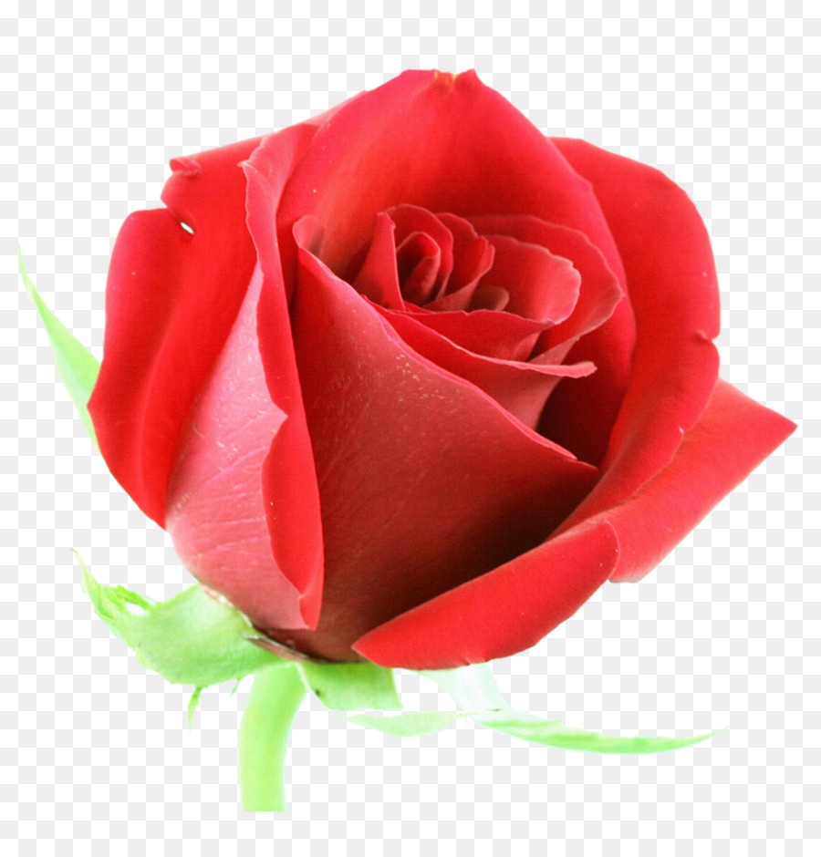 Rose Flower Red Stock Photography Clip Art Beautiful Floral Design