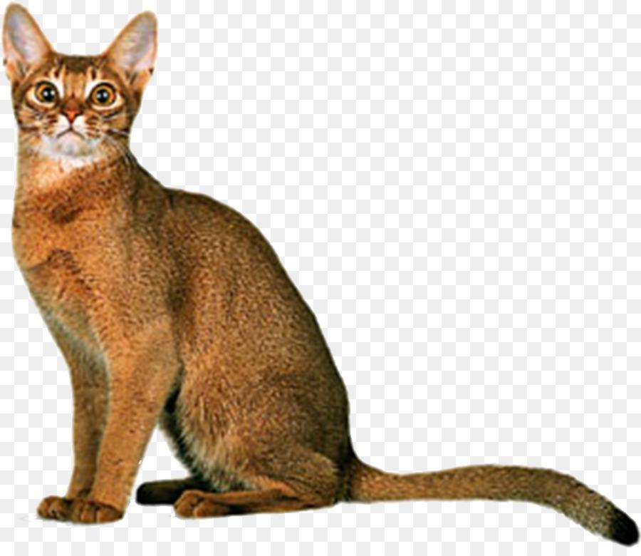 Abyssinian Russian Blue American Wirehair Sphynx cat Birman - Yellow ...