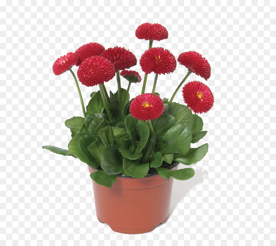 Common daisy Chrysanthemum Flower Bonsai Seed - Potted flower ...
