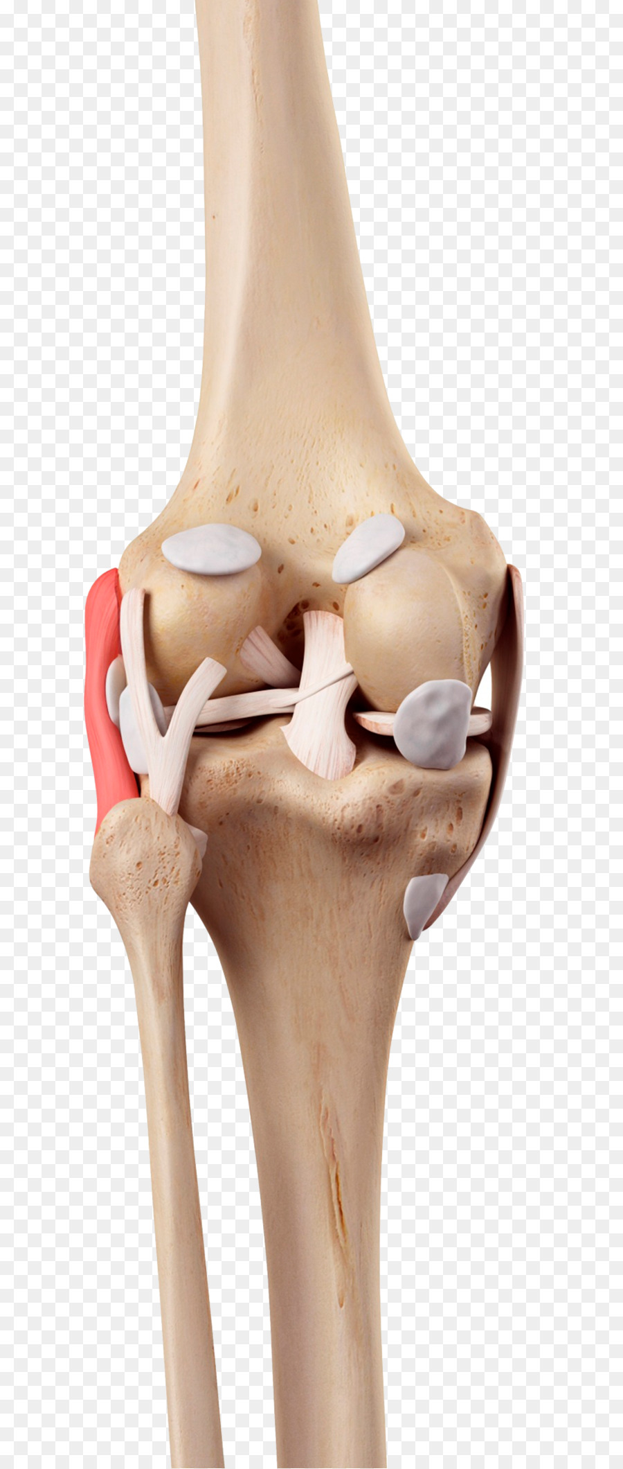 Knee Medial Collateral Ligament Fibular Collateral Ligament Anterior