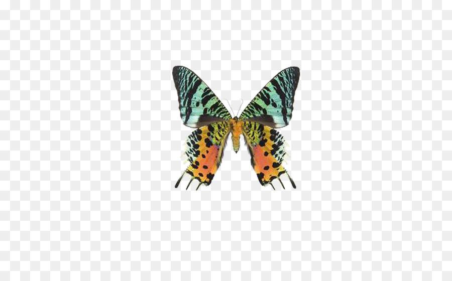 f3f12bcde فراشة Uraniinae Chrysiridia rhipheus فراشة كليب الفن ، - الفراشة الجميلة
