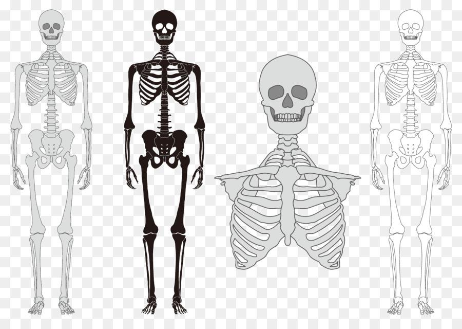 Esqueleto humano Huesos de la columna Vertebral - Modelo De Cuerpo ...