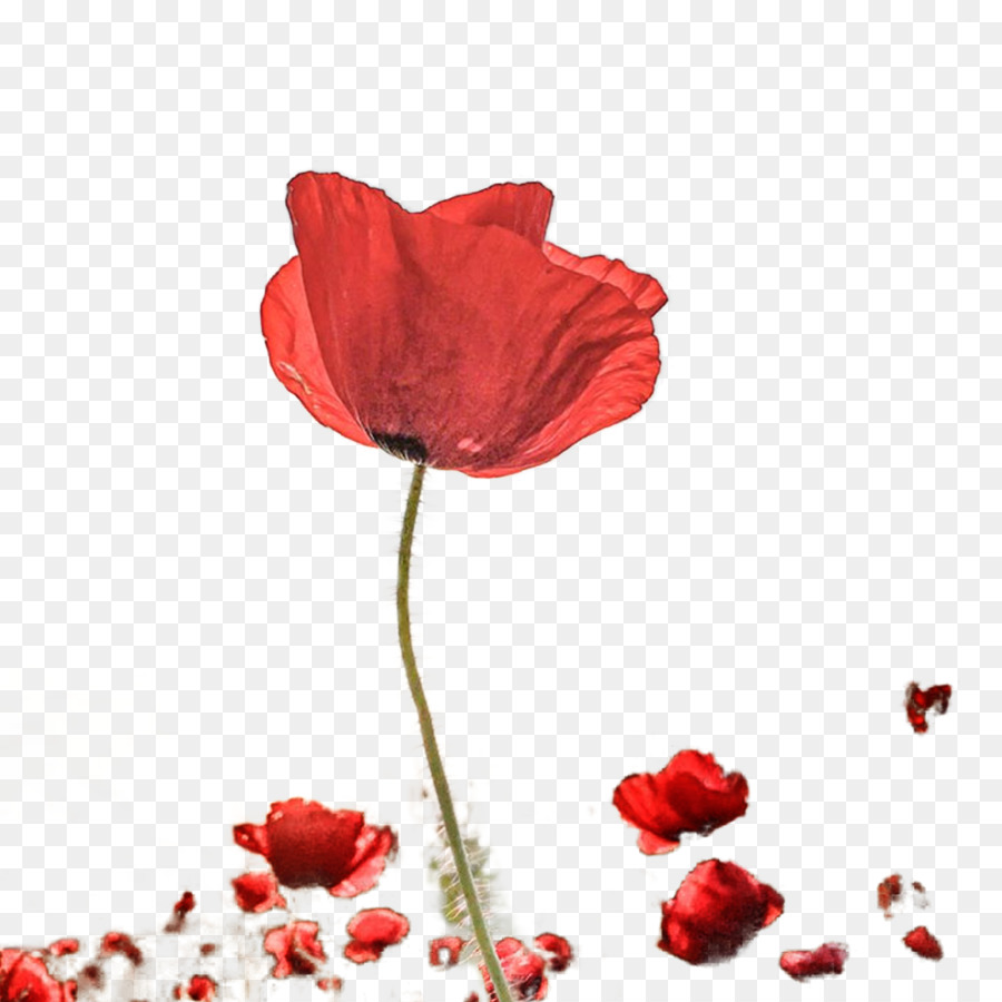 Photography petal poppy vector beautiful red rose png download photography petal poppy vector beautiful red rose izmirmasajfo