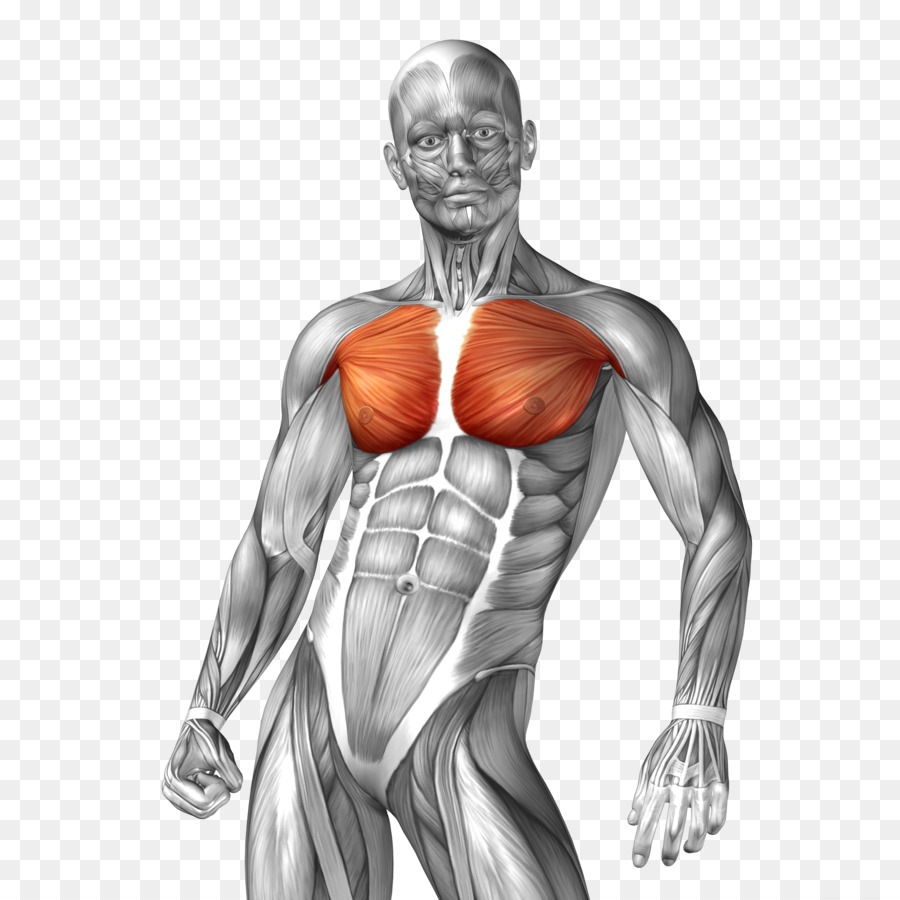 Human anatomy Muscle Illustration - Man body model png download ...