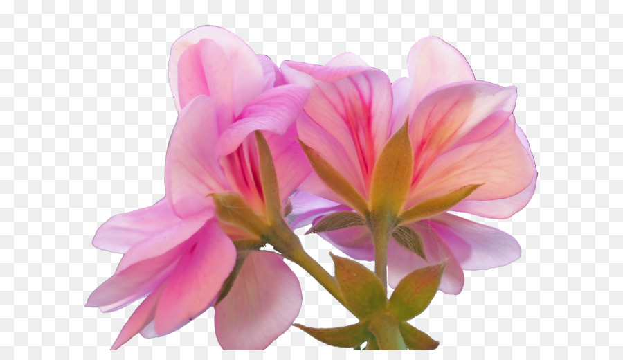 Sweet scented geranium beach rose pink rose geranium png download sweet scented geranium beach rose pink rose geranium mightylinksfo