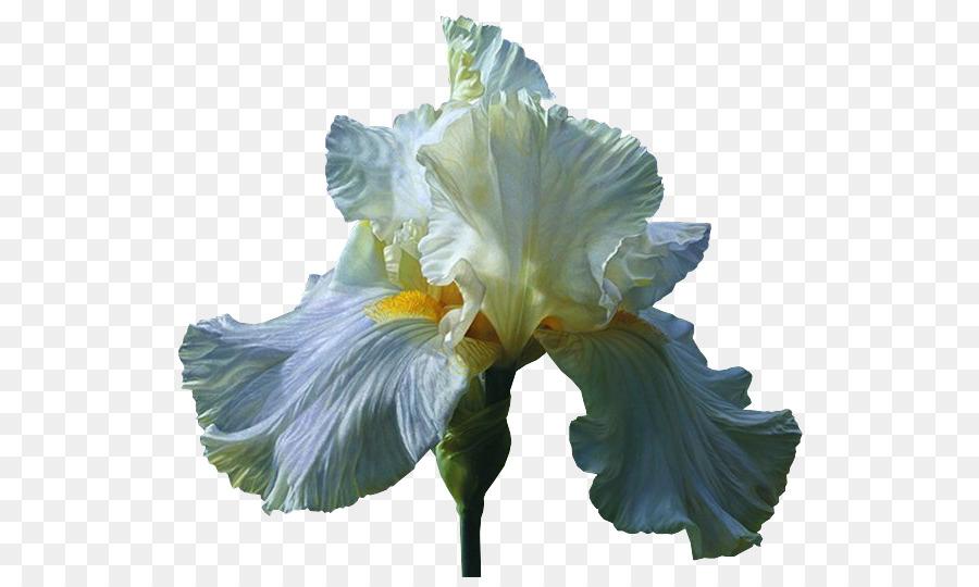 tsveti-irisi-optom