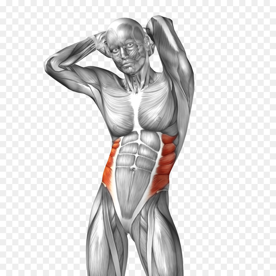 Abdominal External Oblique Muscle Abdominal Internal Oblique Muscle