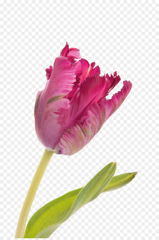 Menakjubkan 19+ Bunga Mawar Pink Png - Gambar Bunga HD
