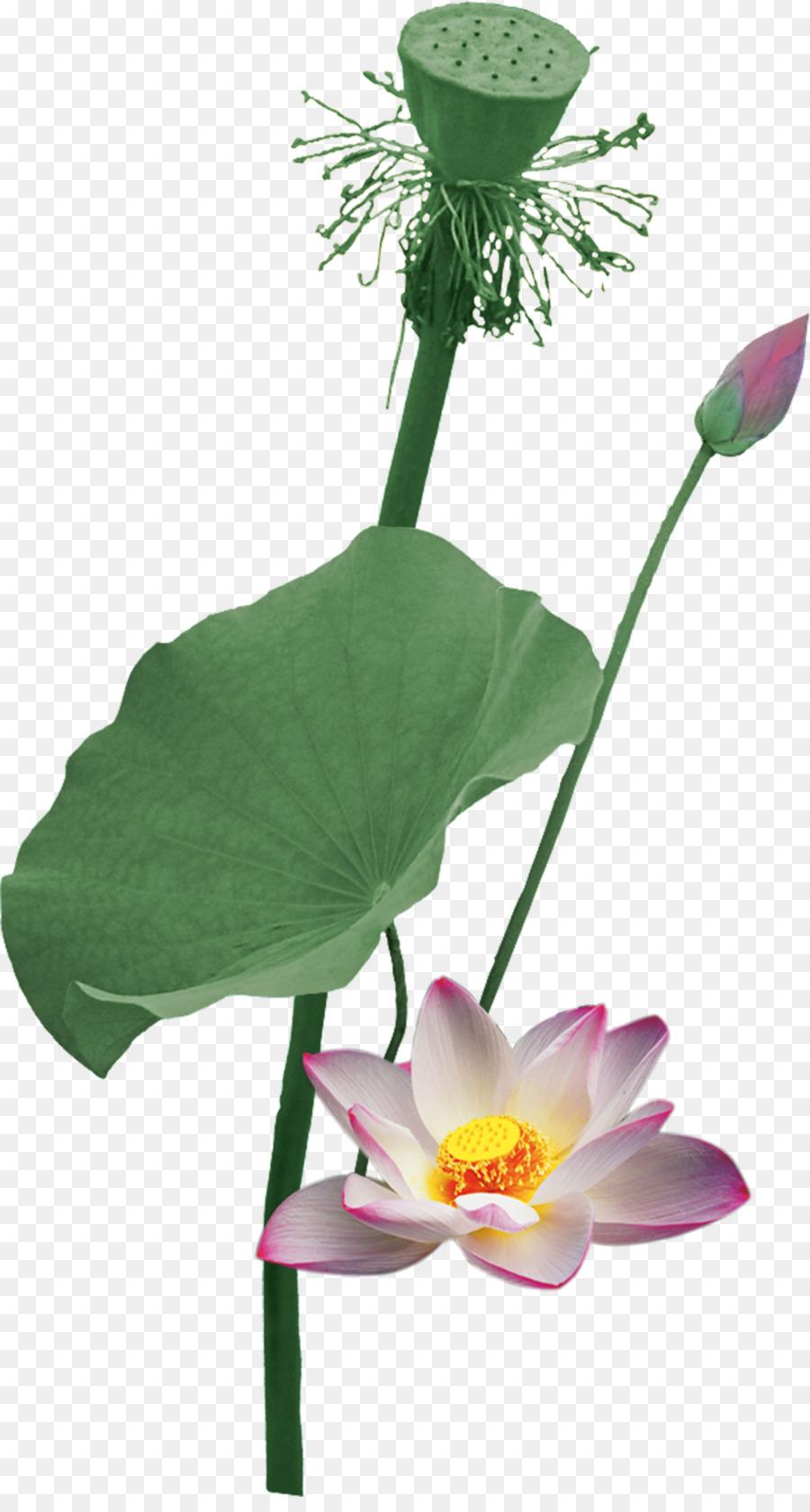 Nelumbo Nucifera Flowers And Guns Lotus Root Summer Lotus Vector