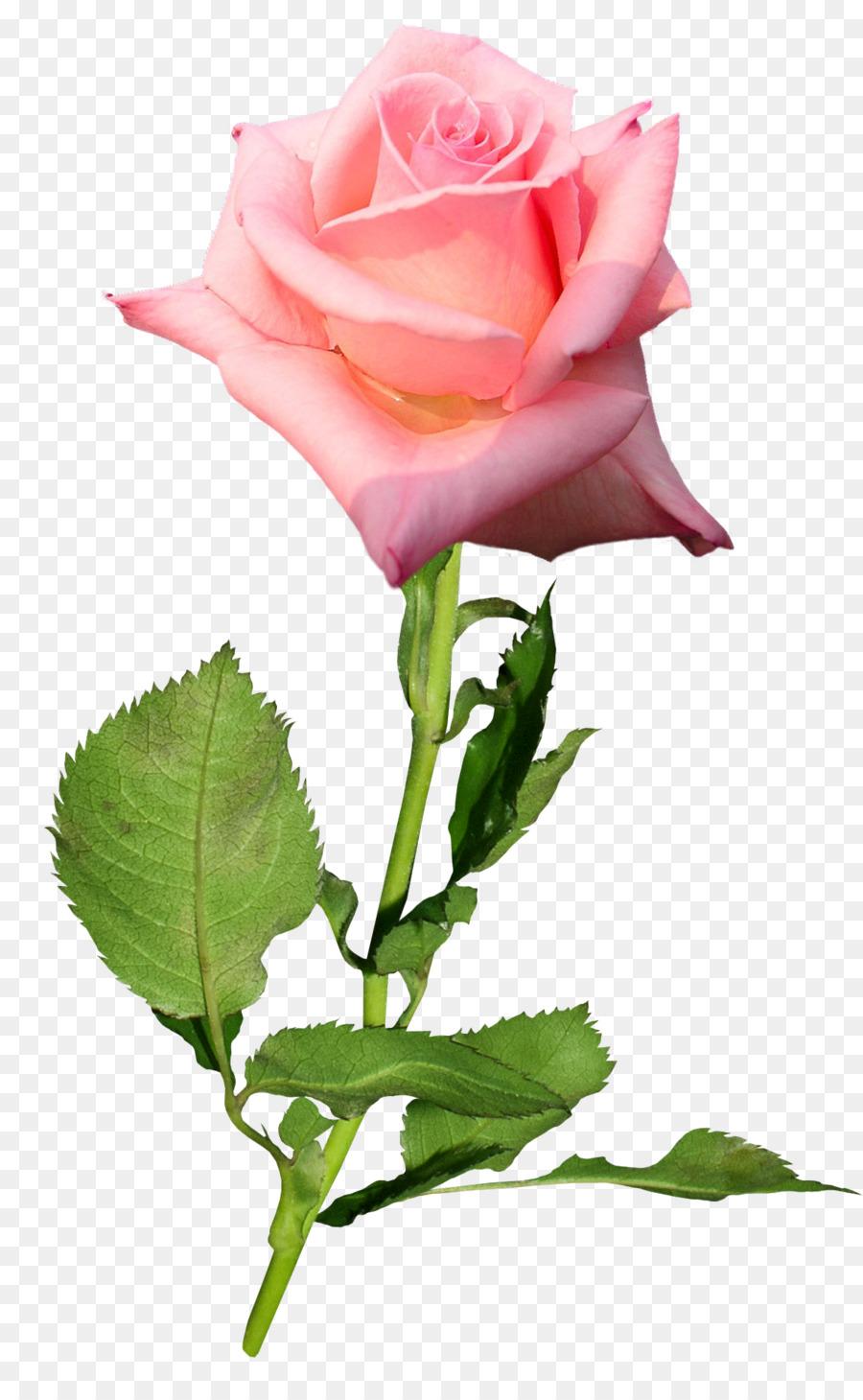 Garden Roses Flower Hybrid Tea Rose Bud Floral Vector Material