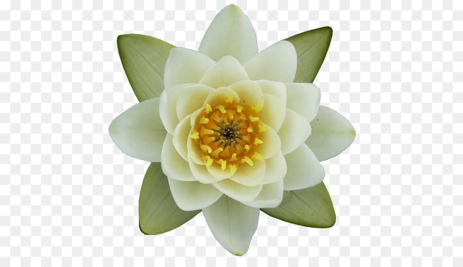 Nelumbo Nucifera Nymphaea Alba Egyptian Lotus Drawing Flower