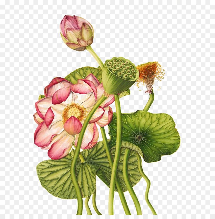 Nelumbo Nucifera Egyptian Lotus Exotic Botany Botanical Illustration