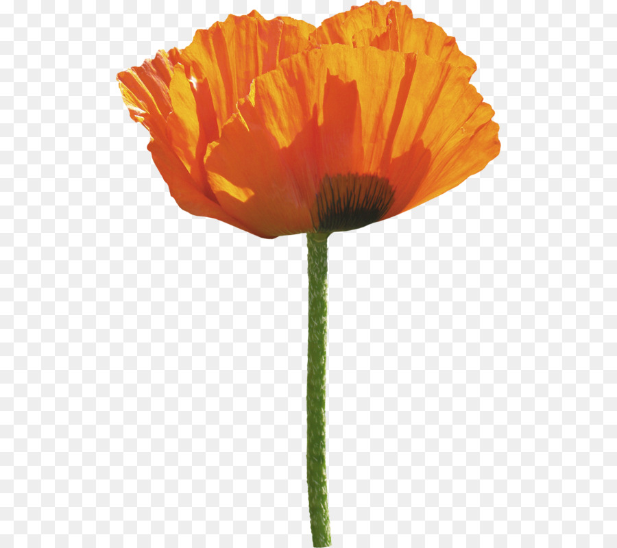 Common poppy flower orange poppy png download 562800 free common poppy flower orange poppy mightylinksfo