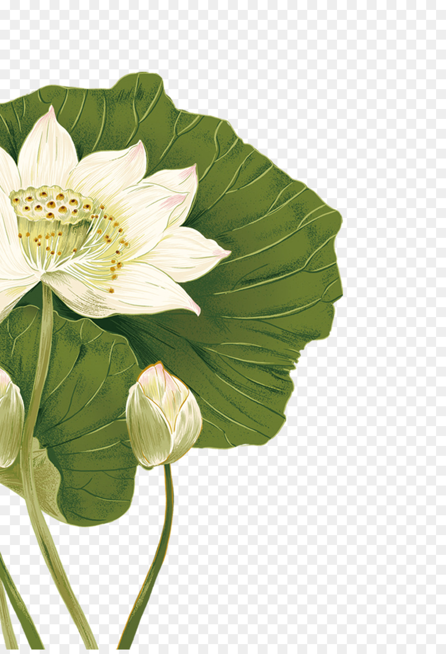 Nelumbo Nucifera Flower Illustration Lotus Png Download 1000