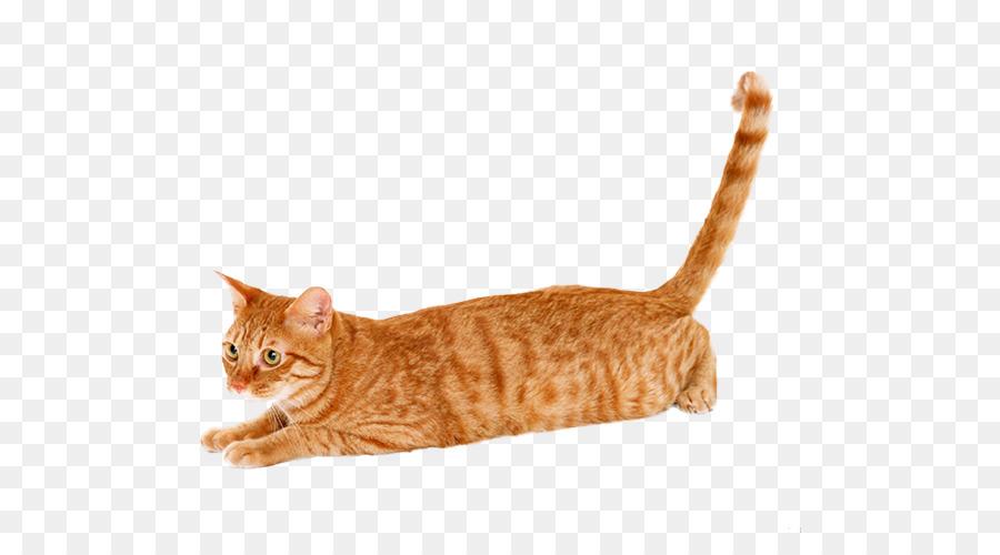 Maine Coon Tabby Katze Haustier Schildpatt Katze Wallpaper