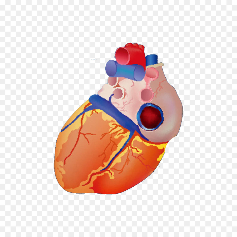 Heart Euclidean vector Anatomy Illustration - Heart model png ...
