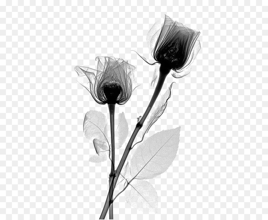 X ray rose flower rosaceae radiography black flowers