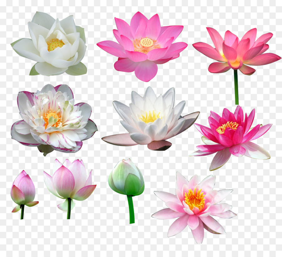 Nelumbo Nucifera Flower All Kinds Of Lotus Png Download 1615
