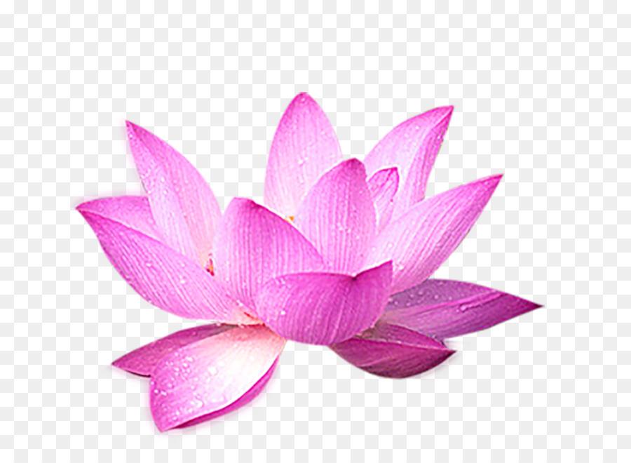 Nelumbo Nucifera File Komputer Bunga Teratai Dekorasi Unduh Pink