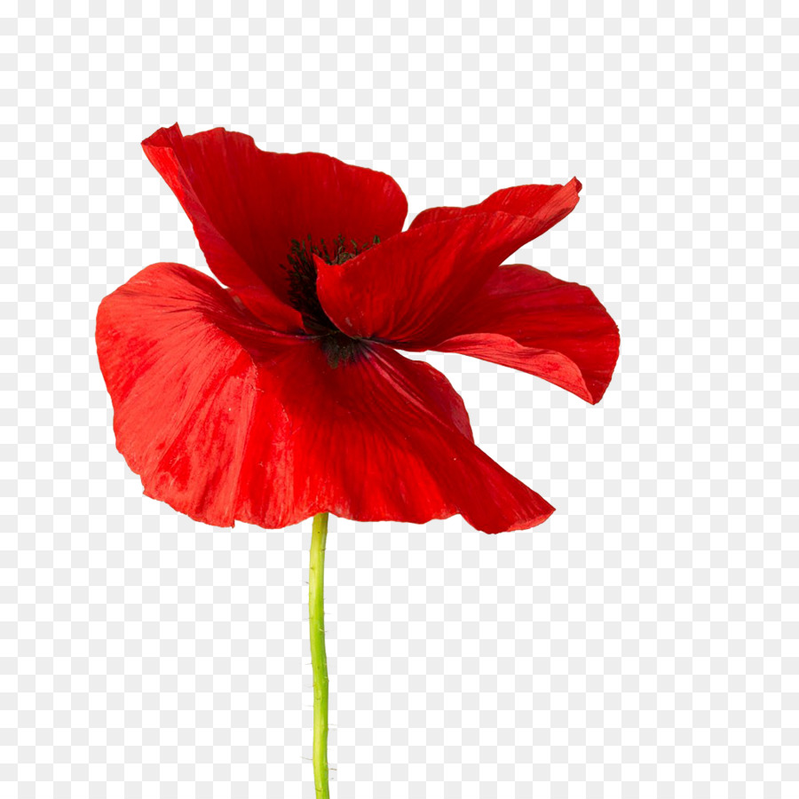 Common Poppy Opium Poppy Hibiscus Red Red Flower Png Download