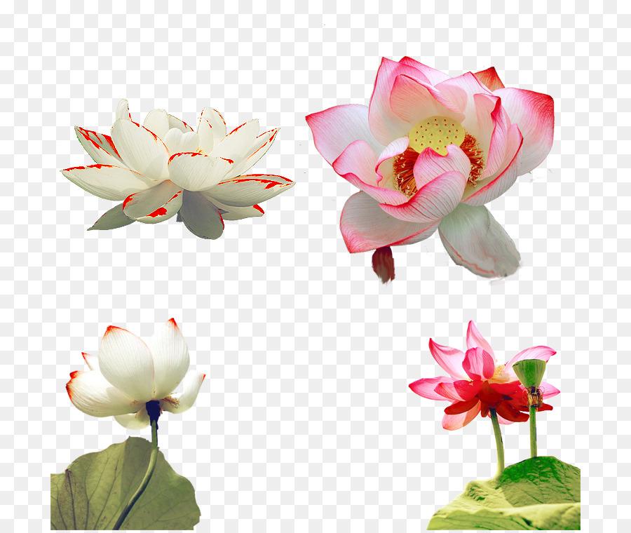 Nelumbo Nucifera Petal All Kinds Of Lotus Png Download 756756
