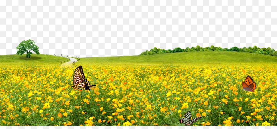 lawn meadow canola flower background png download 1500 681