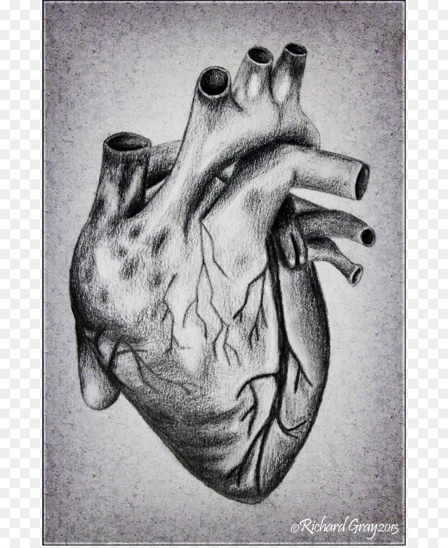 Heart Drawing Anatomy Sketch How To Draw A Human Heart Png