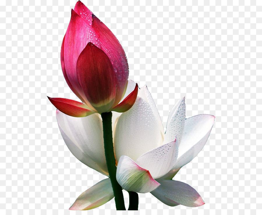 lotus information in hindi