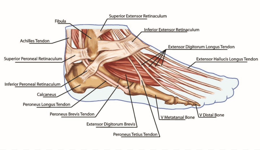 Foot Anatomy Tendon Muscle Bone - Foot png download - 1039*599 ...