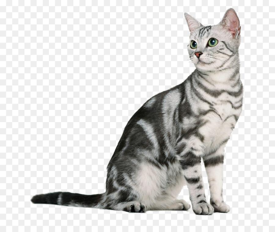 American Shorthair British Shorthair European shorthair Burmese cat ...