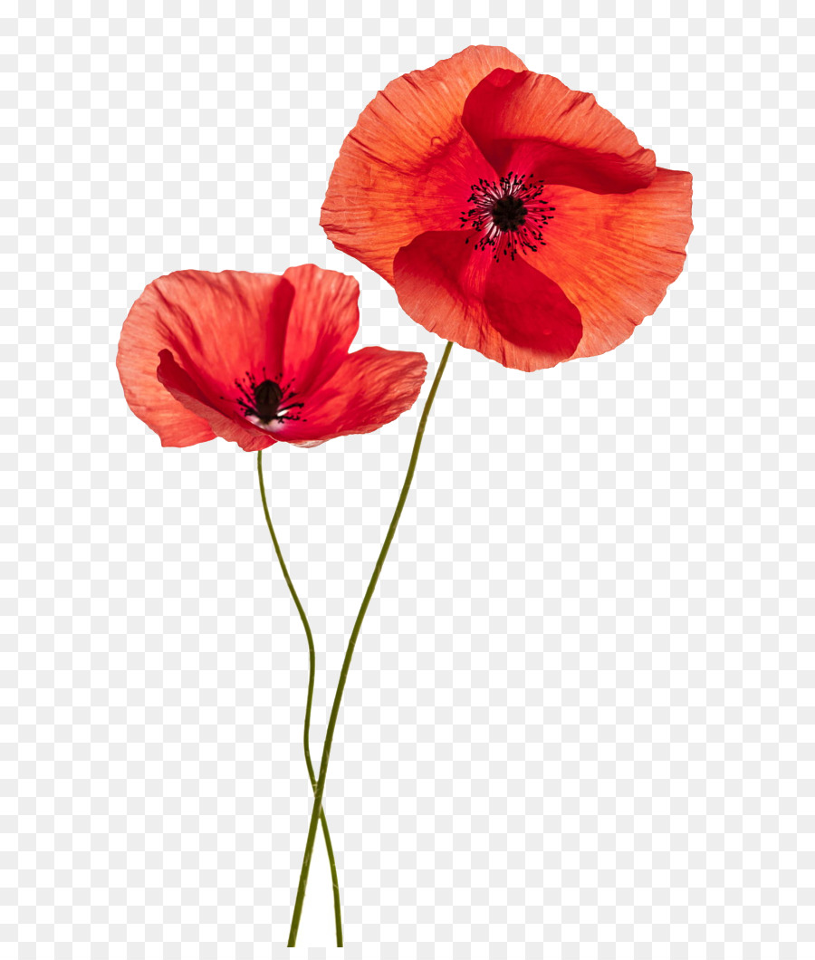 Common Poppy Flower Stock Photography Remembrance Poppy Red Flower